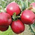 Najlepsza pogoda dla jabłek – pierwszy przymrozek