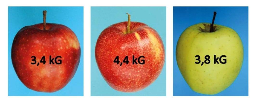 Jędrność jabłek odmian 'Red Jonaprince', 'Szampion' i 'Golden Delicious'