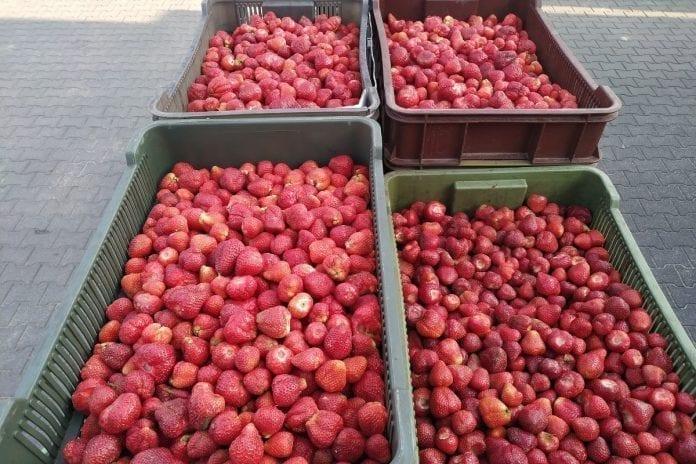 Pogoda skróci sezon truskawkowy