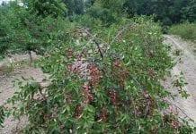 Drzewa wiśni i czereśni usychają