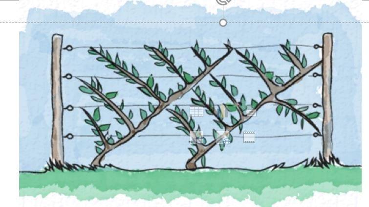 Schemat uprawy czereśni w systemie Drapeau