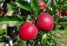 Uzbekistan ma swoje jabłka okrągły rok