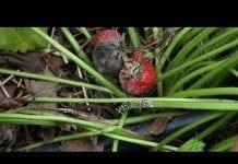 Komunikat jagodowy Agrosimex z dnia 8.07.2019 – truskawka po zbiorach