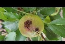 Komunikat sadowniczy Agrosimex z dnia 8.07.2019 – wzrost owoców