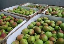 Belgowie oczekują wzrostu cen gruszek po nowym roku