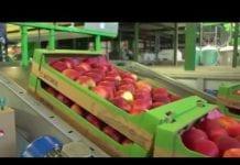Jabłek nie da się sortować w stodole!
