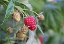 Agro Smart Lab komunikat jagodowy tydzień 32 (05.08-11.08)