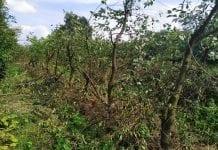 Odmładzanie sadu wiśniowego - sierpień 2019