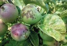 Problem odporności sprawcy parcha jabłoni i innych patogenów na fungicydy