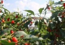 Czy jagoda goji stanie się popularna w Polsce?