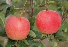 Gala - odmiana jabłoni