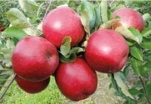 Grójeckie kończy zbiory jabłek