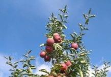 Zbyt wczesny zbiór jabłek częstym błędem w tym sezonie
