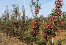 GUS: szacunek tegorocznych zbiorów owoców