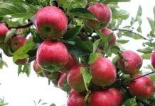 Niezadowalające ceny jabłek deserowych – 8.10.2019 r.