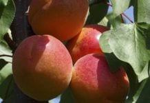 Sezon brzoskwiń i nektaryn według raportu USDA