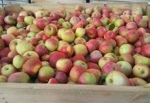 Jabłka przemysłowe w skrzyni