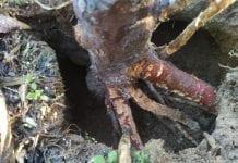 Efekt działań gryzoniow w sadzie