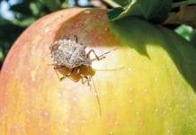 Halyomorpha Halys - inwazyjny szkodnik