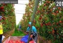 Gala w amerykańskim sadzie z doliny Yakima – VIDEO