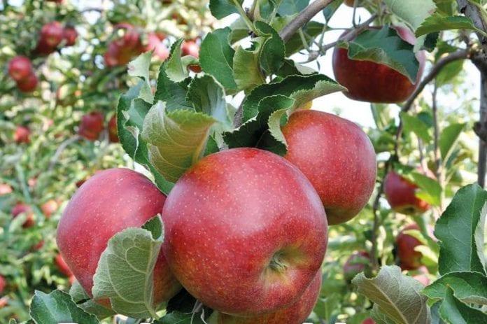 Jabłka w sadze - zbiory 2019