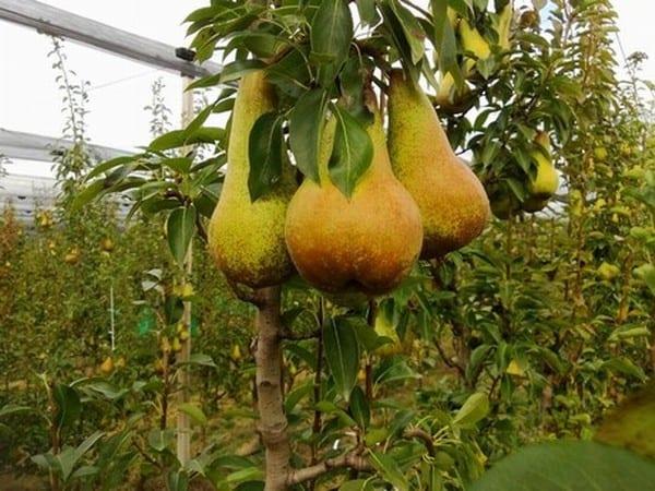 Włoski sad gruszowy