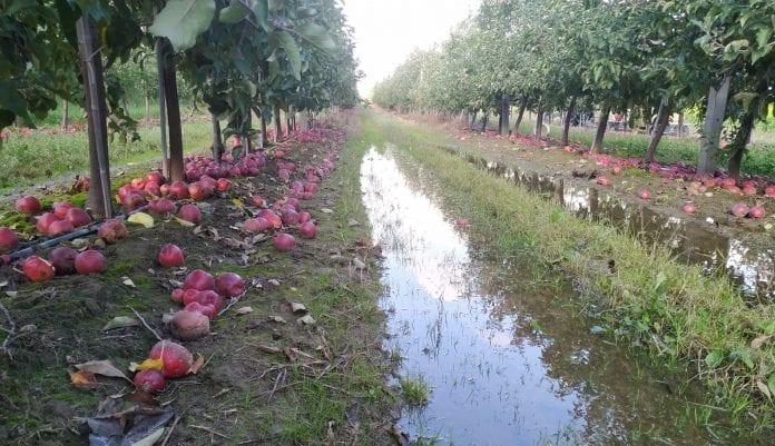 Jabłka przemysłowe - październik 2019