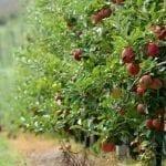 Tysiące ton owoców zostanie pod drzewami w Wielkiej Brytanii