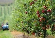 Zbiór jabłek w Wielkiej Brytanii
