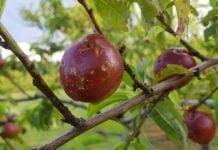 Sadownicy z Nowej Zelandii liczą straty w owocach pestkowych po październikowym gradzie