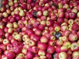 Słaba jakość jabłek ze zbiorów 2019