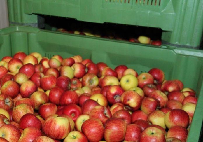 Jabłka w przechowalni