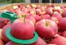 Jabłka w skrzyni