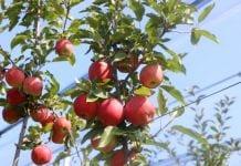 Ile ton jabłek zbierze południowa półkula?