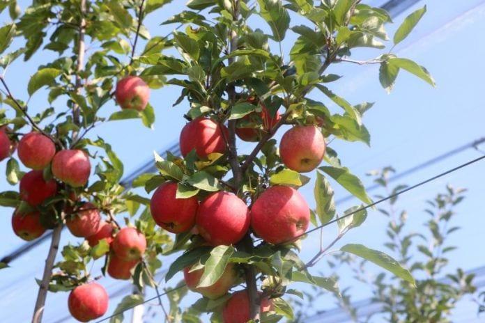 Jabłka odmiana Gala