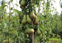Wzrost światowej produkcji gruszek