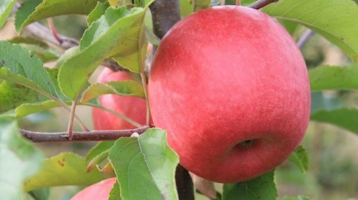 Jabłka odmiany Barnsby