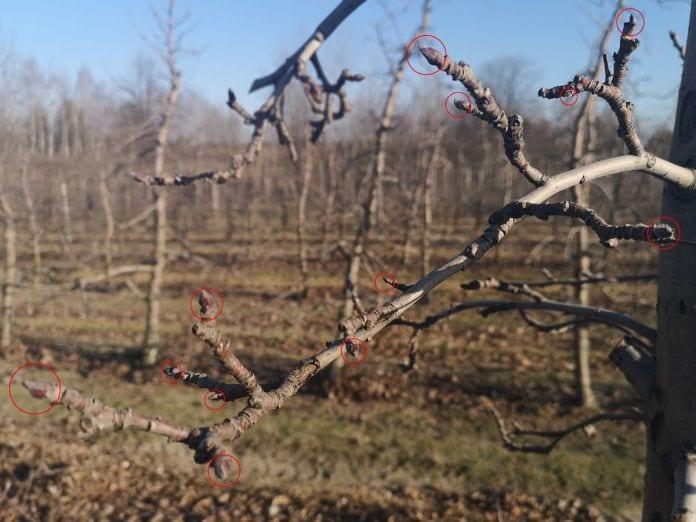 Ilość pąków na jabłoni - odmiana Ligol - styczeń 2020