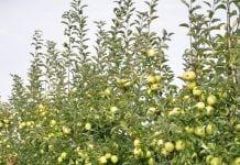 Sad jabłoniowy - podładki M9