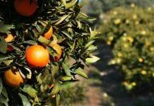Pomarańcze w Hiszpanii