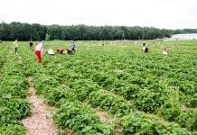 cudzoziemcy pracujący w rolnictwie a koronawirus
