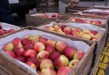 jabłka na rynku hurtowym w broniszach