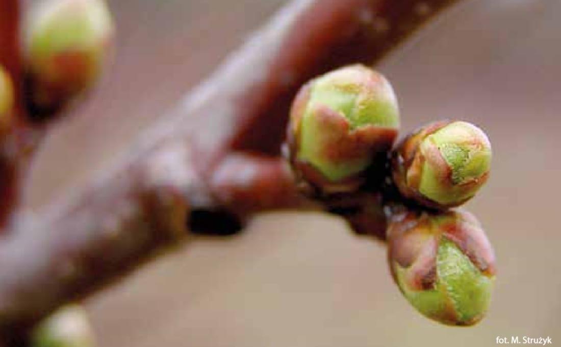 Pąki drzewo owocowe