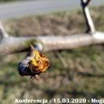 Pękanie pąków - grusza Konferencja - 15.03.2020