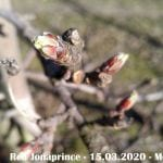 Pękanie pąków - Red Jonaprince - 15.03.2020