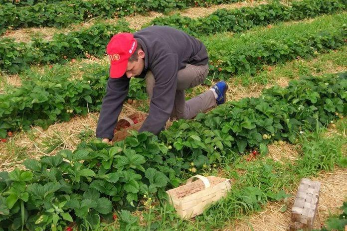 pracownicy sezonowi zbiory truskawek 2020