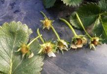 Mróz uszkodził część truskawek na Ukrainie