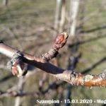 Pękanie pąków - Szampion - 15.03.2020