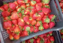 Zła sytuacja włoskich truskawek – konsumenci mają inne priorytety
