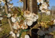 Włochy: Sady w rozkwicie, a przymrozki nie odpuszczają